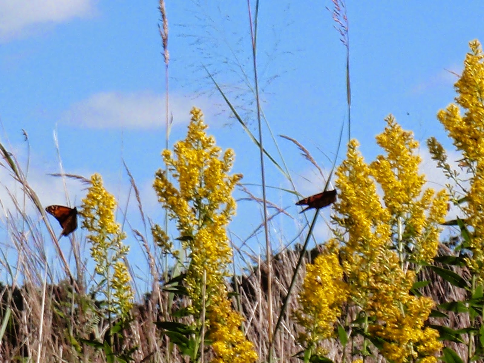 Monarchs on Goldenrod on the Ice Age Trail - Southern Kettle Moraine State Forest