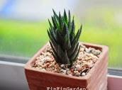 http://finfingarden.blogspot.com/2014/12/haworthia-herbacea-cactus-cacti-nature.html