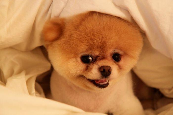 Nice Images | Wallpaper: Meet Boo the Cutest Pomeranian Dog