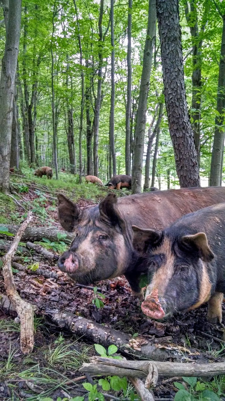 Woodlot & Pastured Pigs