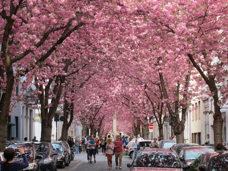Tunnel of cherry trees is located in Bonn, Germany, it is definitely worth visiting. Nature is beautiful, but there is nothing more magical than being under the trees as a living tunnel.