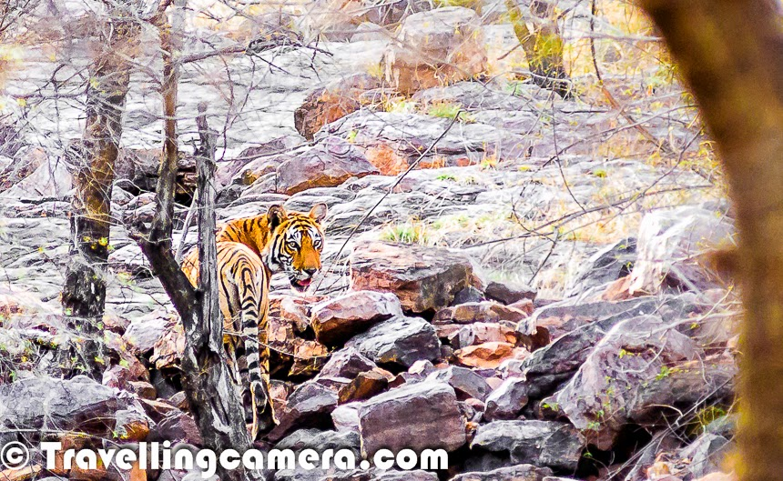 Till date we have been to Corbett, Rnathambore, Sariska & have done a total of 6 safaris and have every time prayed hard for a Tiger sighting.  We had almost come to believe that we aren't destined to seeing the tiger in the wild. Today that jinx broke and we had a close encounter with the majestic big cat. This is a 20 months old cub of the Tigress T17 who died in a fight with a male just 12 months after giving birth to twin cubs. These cubs are almost fully grown up but haven't yet been assigned names & numbers, because they haven't yet proven themselves. We saw both the brothers within a gap of 15 minutes on route number 1 of Ranthambore. The credit for sighting these Tigers goes completely to Aircel who organized this trip for us under #SaveOurTigers campaign and Mr Anish Andheria.And this is just a quick glimpse of the sighting. We will soon be back with more details about this amazing experience of being at Ranthambore National Park with Aircel Team and the Conservation Experts.
