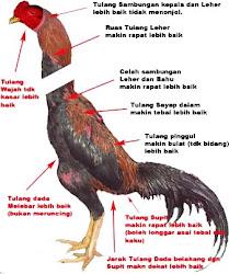 Gambar Katuranggan Ayam Bangkok