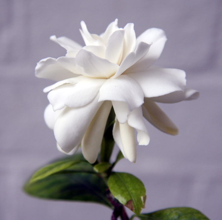 A Bad Witchs Blog Gardenia Folklore And Flower Symbolism
