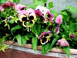 pansies. ccthompson. carlas victorian heirlooms.