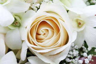 Beautiful White Rose HD Love Wallpaper