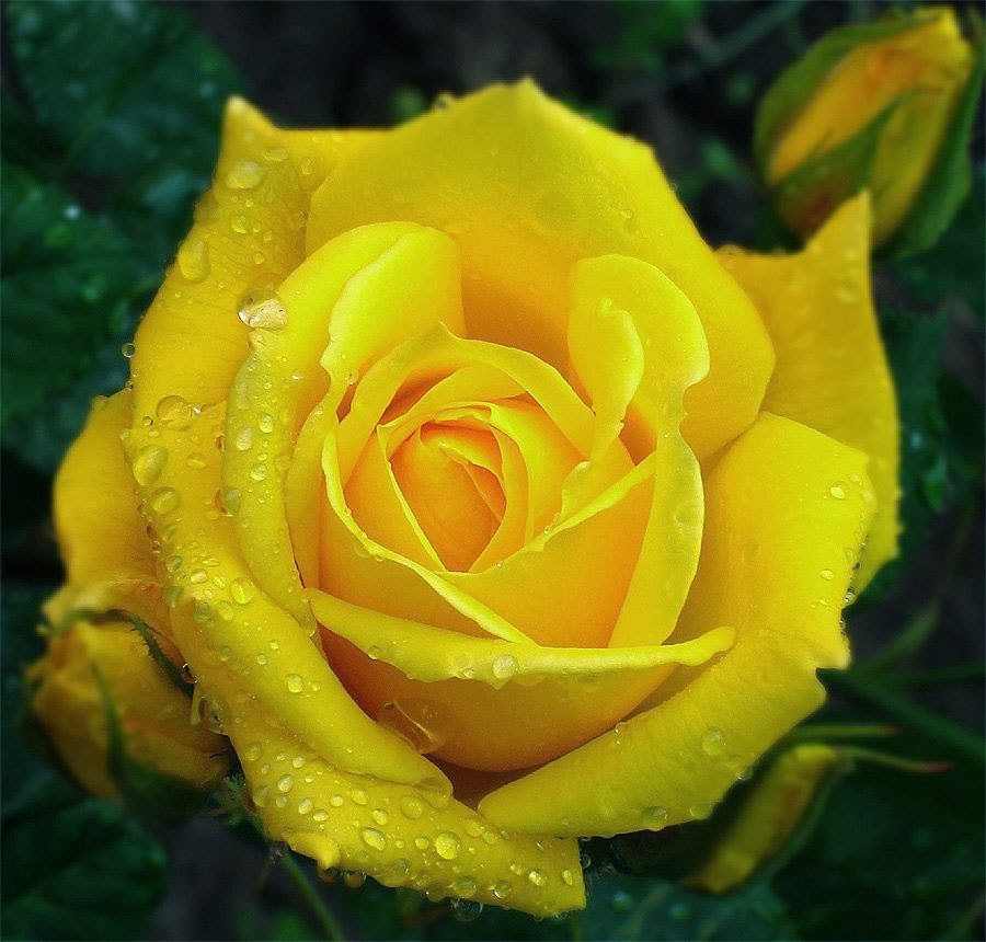 Linda Rosa Amarela Rosa