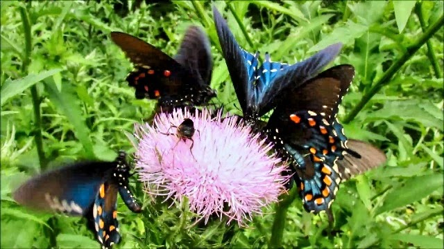 Pipevine Swallowtail Butterfly Feeding Frenzy