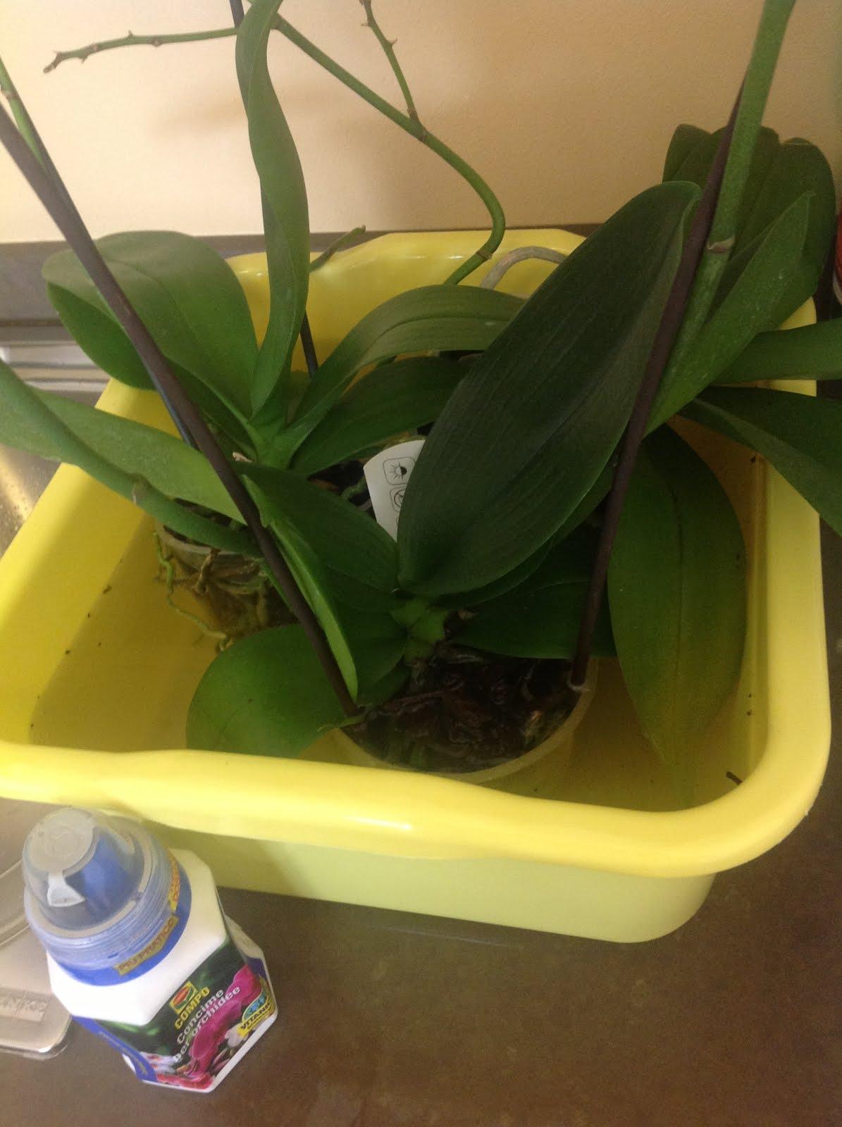 ilfilodelverde: Annaffiare le orchidee