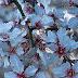 Torre de Moncorvo celebra a chegada das Amendoeiras em Flor