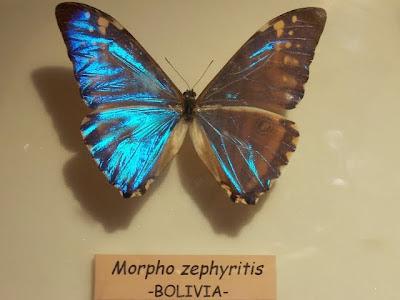 Morpho zephyritis