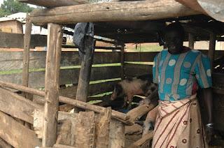 Uganda pigs