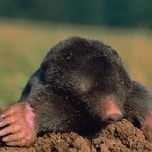 how to catch a mole with water
