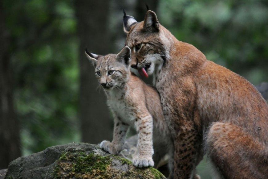 Siberian Lynx Cat « Nat Geo Adventure
