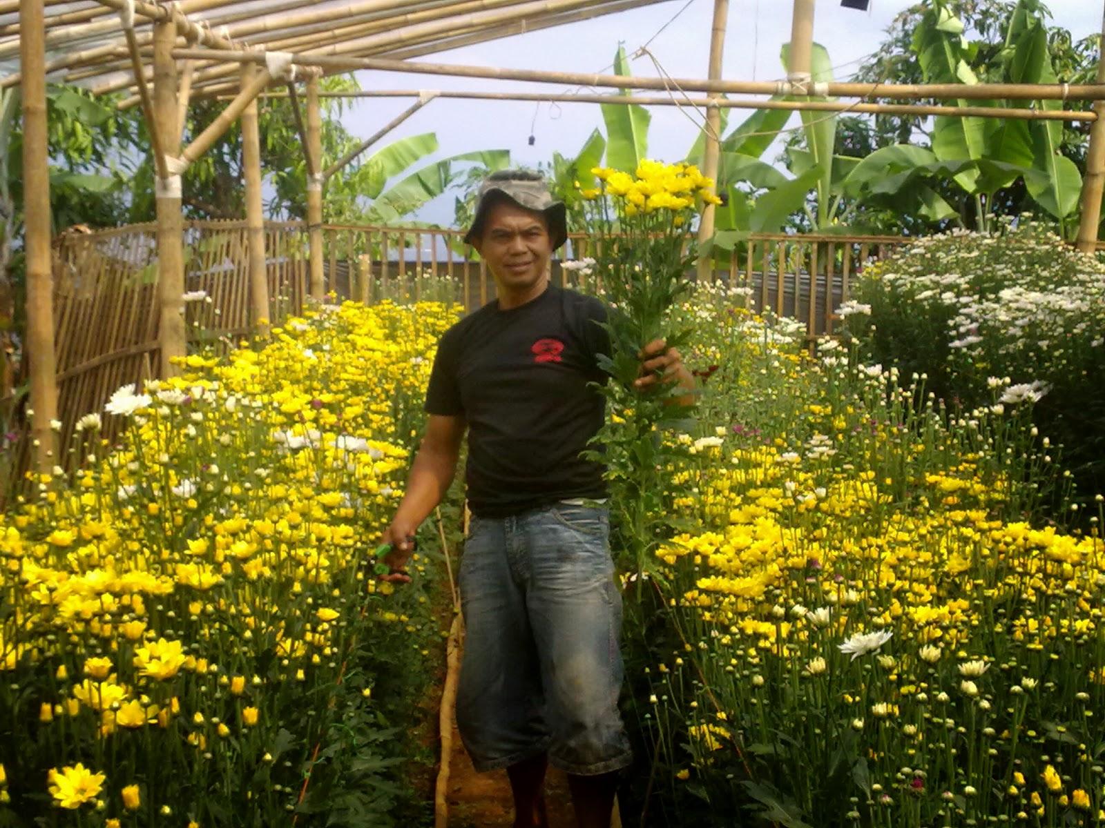 Saung Krisan Pagerkamulyan Pemanenan Bunga Krisan