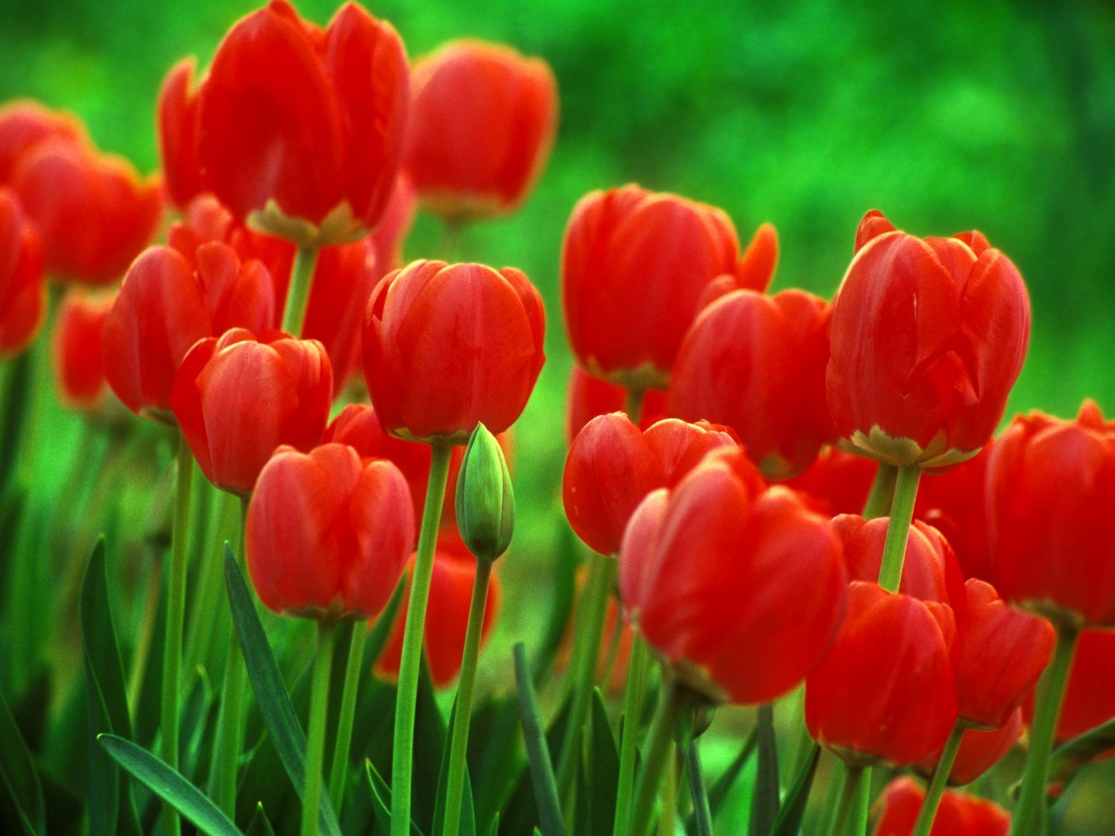 http://1.bp.blogspot.com/-tn0lo0-4t90/UBjXDmxoI0I/AAAAAAAAABs/95pZS-0a19k/s1600/red_tulips_wallpaper.jpg