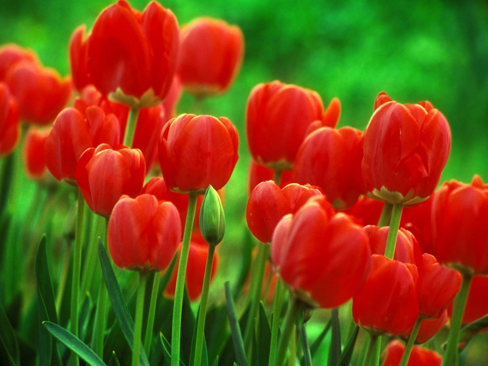 Tulip Biru