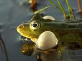 Kwakende groene kikkers