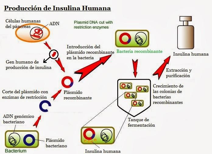 Ejemplo de adn recombinante diabetes mellitus for Como se escribe beta