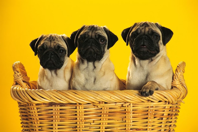 Three little pug puppies sitting in a basket