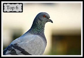 Indian Pigeon