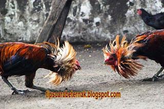 Teknik Bertarung Ayam Bangkok, Cara  Melatih Ayam Bangkok Bertarung