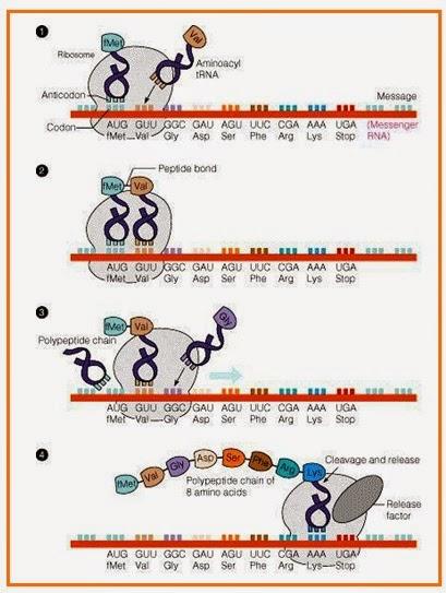 Gurucerdas subsatnsi genetika gambar sintesis protein ccuart Images
