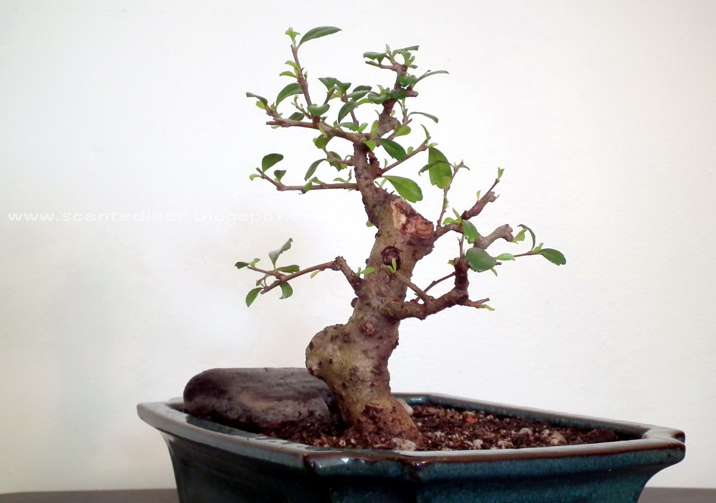 Scented Leaf Sudowoodo Fukien Tea Bonsai