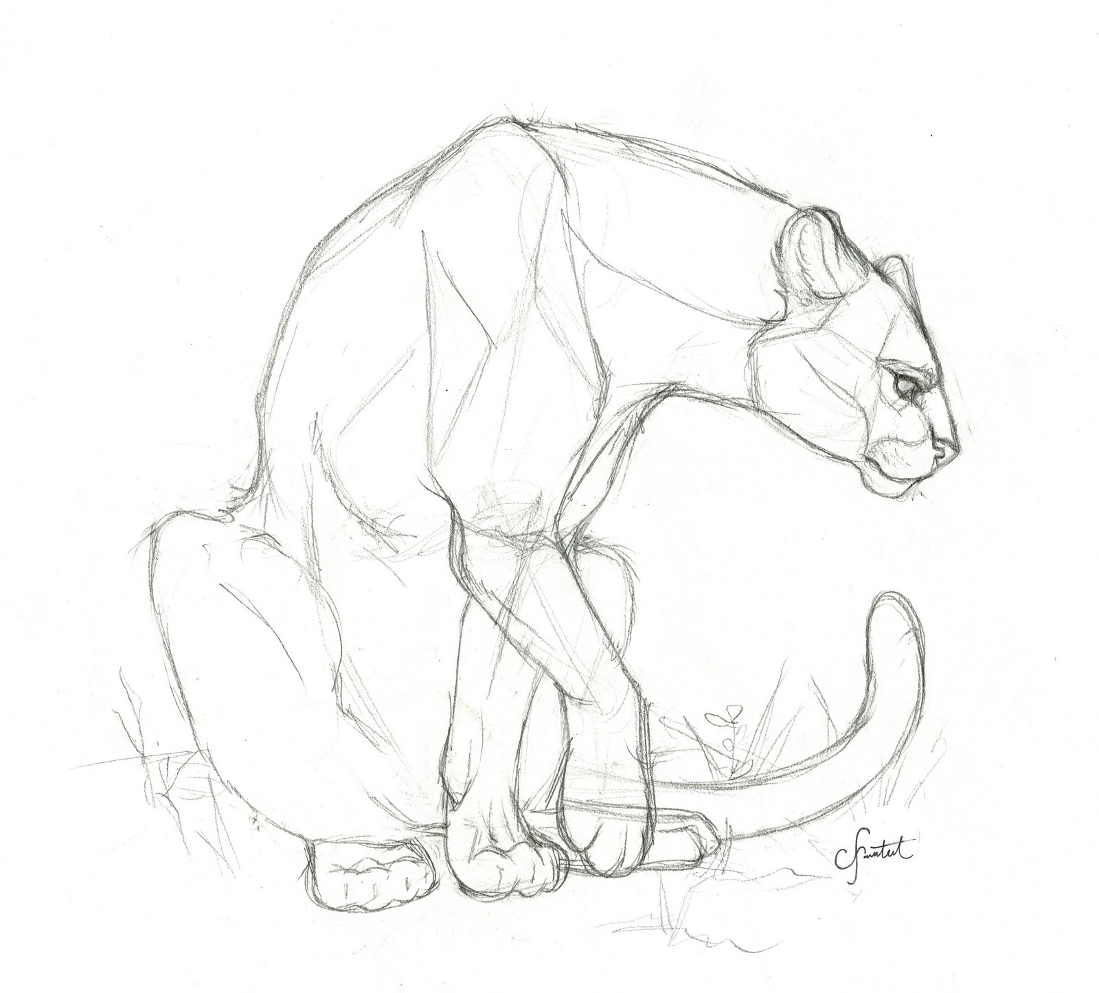 Displaying 19> Images For - Cougar Sketch...