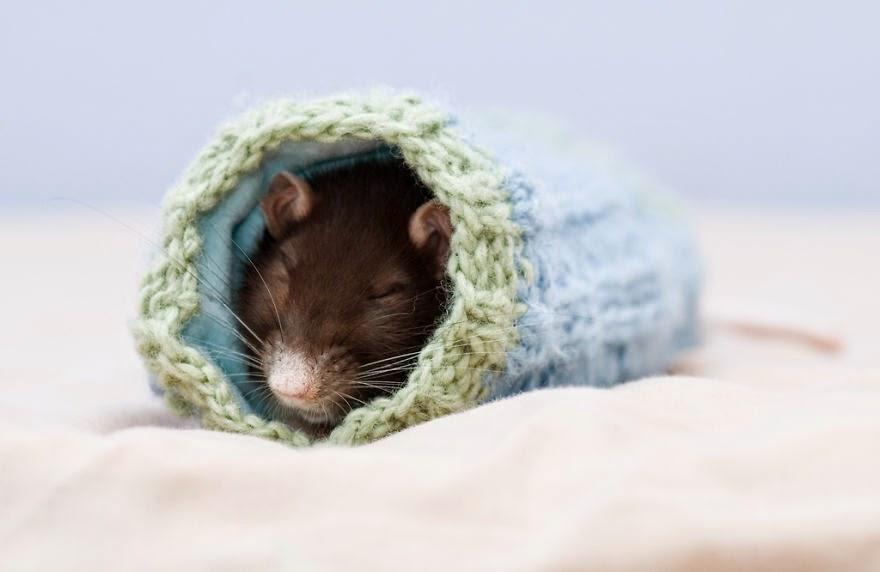 foto de rato a dormir