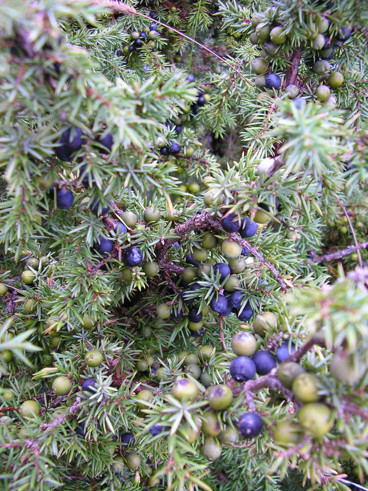 Temperate climate permaculture permaculture plants juniper for The juniper