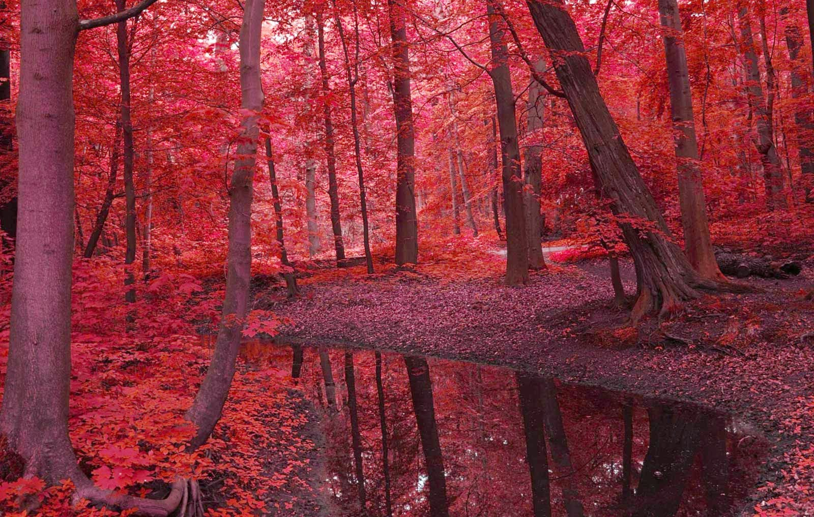 Red Forest Landscapes Nature Autumn Beauty Wallpaper