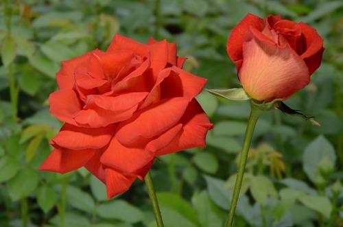 Las Vegas rose сорт розы фото