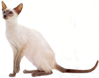 siamase cat pets breed information kitten animal domestic