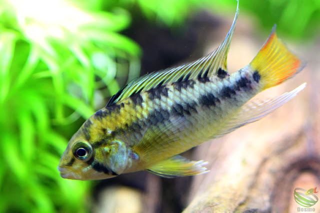Apistogramma sp.Tame