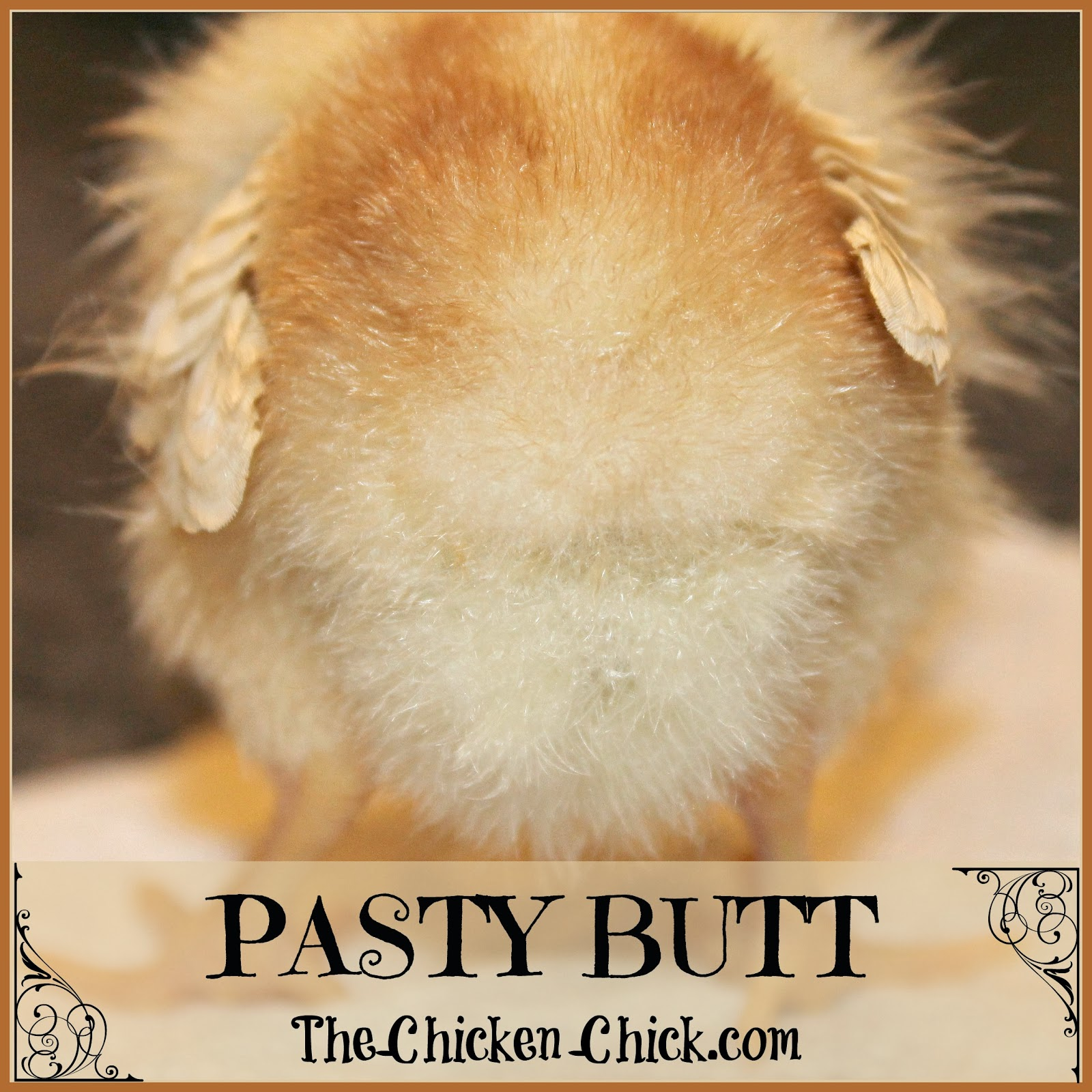 Pasty Butt also known as pasted vent and pasting up is a condition that occurs in baby chicks when droppings stick to the down surrounding their vent. Poop builds up to form a blockage of the digestive system that can be fatal to the chick unless removed. Pasty butt treatment, causes and prevention are covered below.