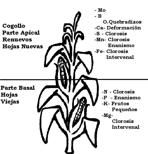 Planta de maiz para pintar - Imagui