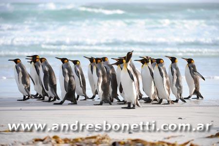 Pingüino Rey - Islas Malvinas - King Penguin - Falkland Islands - Andrés Bonetti