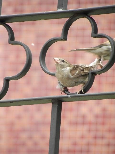 pássaro se afasta após acasalamento