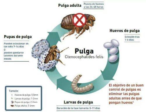 Pulgas y nuestras mascotas remedios naturales remedios - Remedios caseros para las pulgas en casa ...