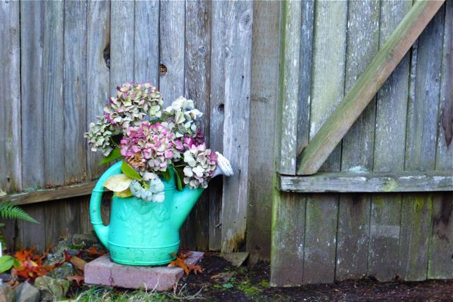 hydrangea, hydrangea blooms, hydrangeas blooms drying, cut hydrangea blooms