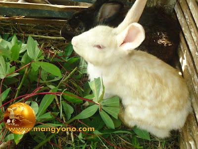 Bagaimana caranya menghamilkan kelinci?.