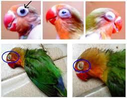 Cara Mengobati Sakit Mata Pada Lovebird