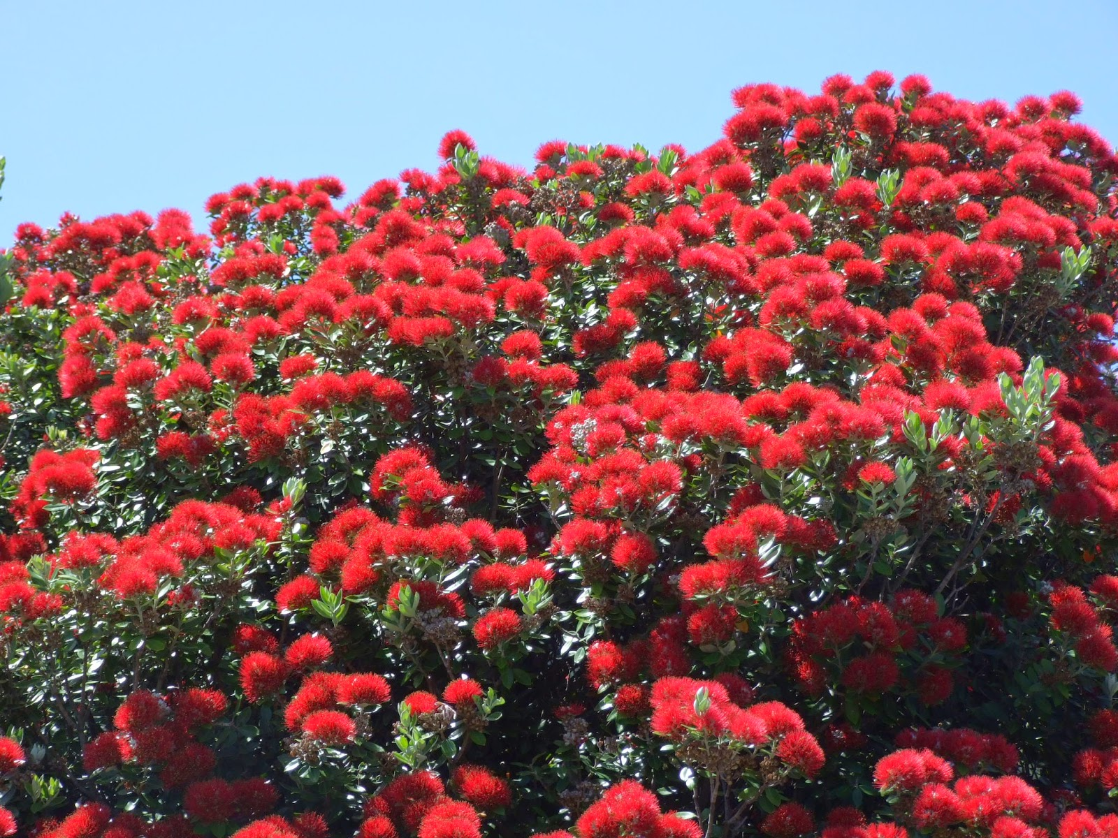 Alan Jolliffe Pohutukawa The New Zealand Christmas Tree