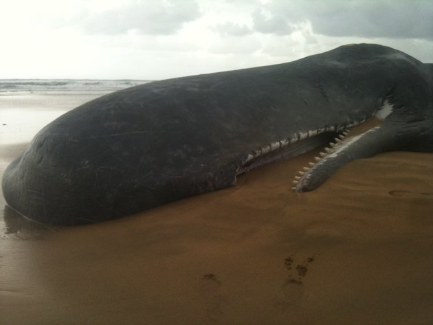 See Attractive Anything: Giant Whale Shark Washes Ashore