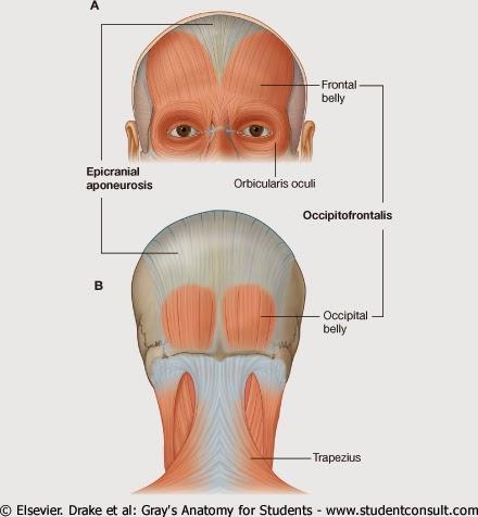 Morfofunción: Cabeza y cuello: Músculos de los párpados y de las cejas