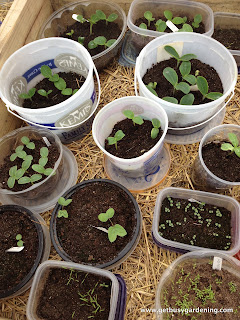 Squash, cucumbers and a few other seedlings