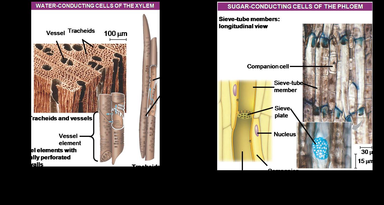 Dunianya Sari: Struktur dan Fungsi Jaringan pada Tumbuhan
