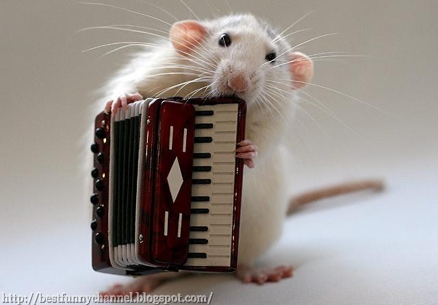 Funny  music rats