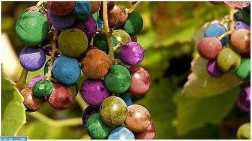 Menakjubkan Anggur Berwarna warni Seperti Warna Pelangi Ditemui